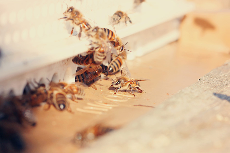 abeille domestique une julie verte